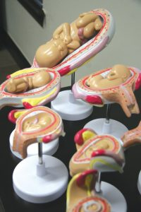 Inside an examination room at Edmond Pregnancy Resources sit models of the size of an unborn baby at different stages of pregnancy.