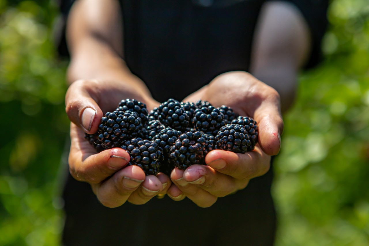 BLOG: Eat the blackberry in June!