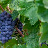 BLOG: Changing the shape of grapes