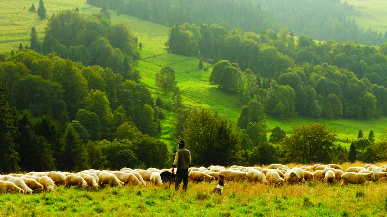 How to be a shepherd sheep can trust