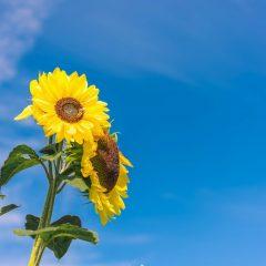 Rite of passage: Sunflower seeds