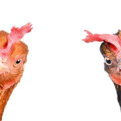 BLOG: Dirty chickens