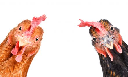 BLOG: Dirty chickens