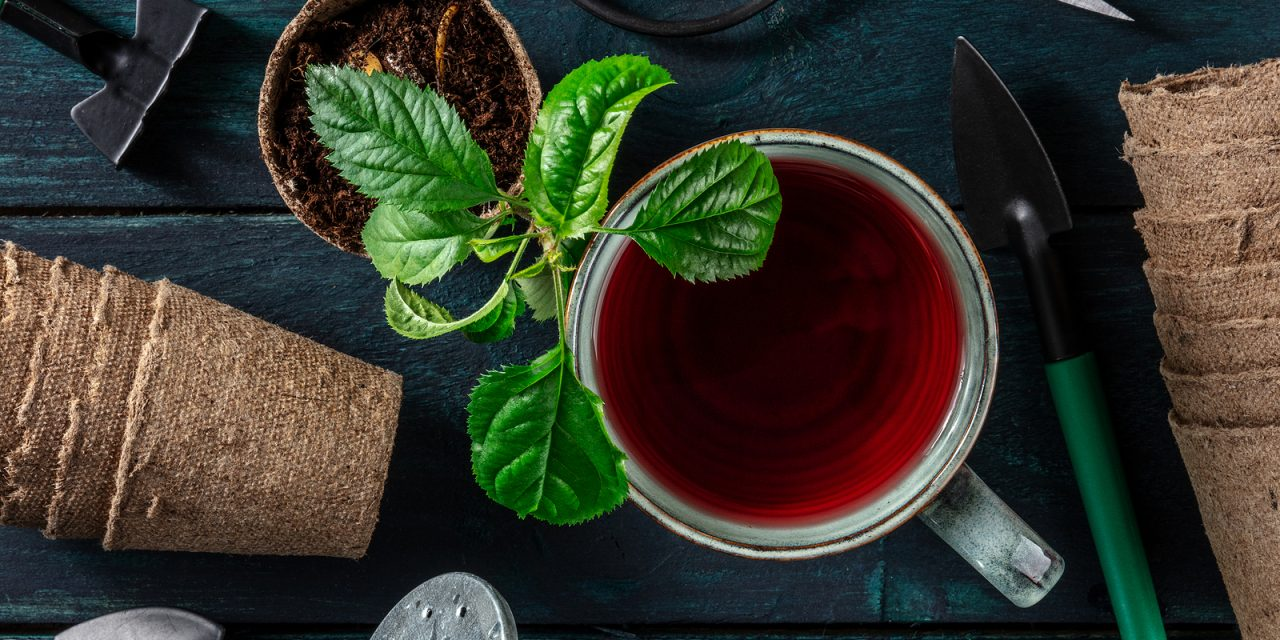 BLOG: Grow your own tea garden