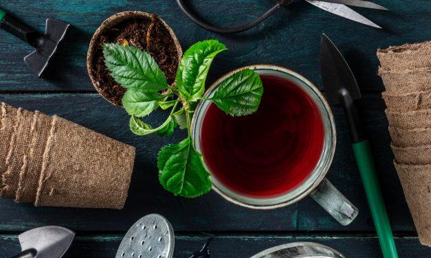 BLOG: Grow your own tea garden